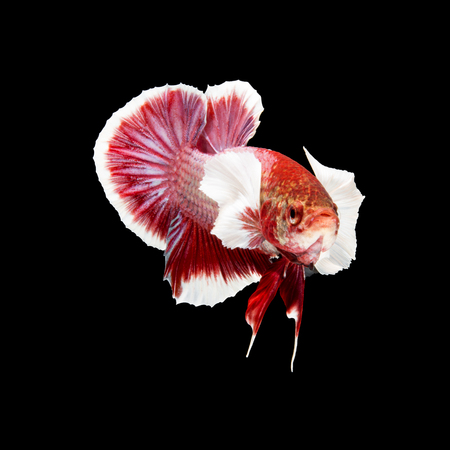 big ear: Red siamese fighting fish, betta fish, big ear profile, on black background Stock Photo