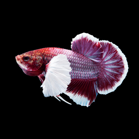 half moon tail: Red siamese fighting fish, betta fish, big ear profile, on black background Stock Photo
