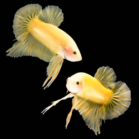 half moon tail: Yellow siamese fighting fish, betta fish, half moon plakat tail profile, on black background