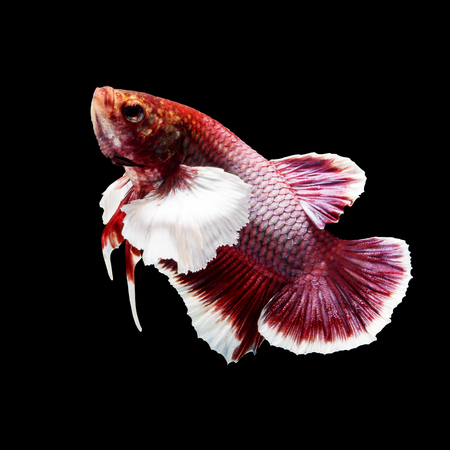 Red siamese fighting fish, betta fish, big ear profile, on black background Stock Photo