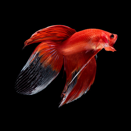 Red siamese fighting fish, betta fish, veil tail profile, on black background
