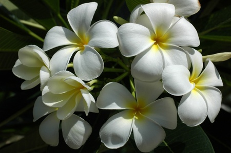 Group of White Plumeria photo