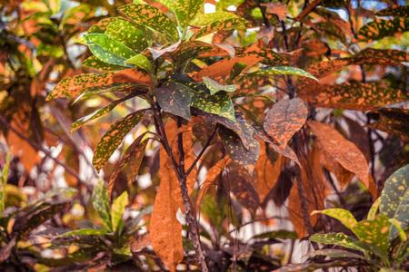 variegated: variegated crotons golden leaves(Codiaeum variegatum)