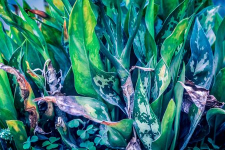 shinning leaves: Dumbplant with bright stripes (Dieffenbachia cv. Anna)
