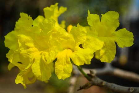 Tabebuia chrysantha ,golden tree ,yellow pui bouquet beautiful fresh yellow color.