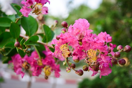 Inthanin flower in Thailand.