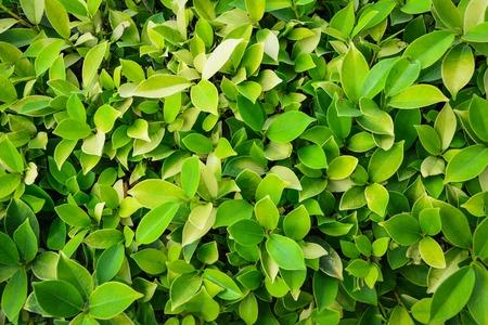 fresh leaves ficus altissima Blume tree background