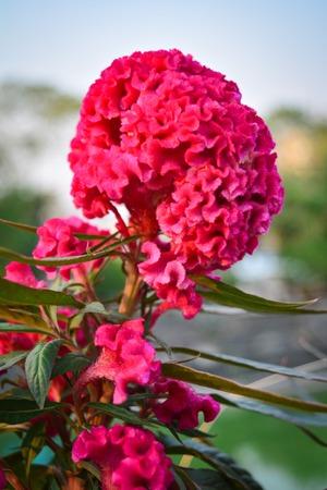 Celosia argentea, Beautiful flower