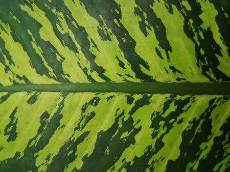 Green leaf of Dieffenbachia in home. Abstract background Stock fotó