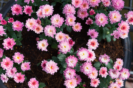 Pink flowers blooming in the garden Stock Photo