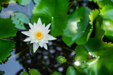 Beautiful white flowers texture background in the swamp Stock Photo