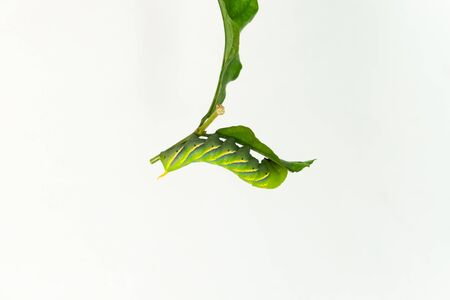 Green worm on leaf with white background, upside down