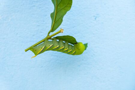 Green worm on leaf with blue background, upside down Imagens