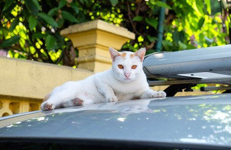White cute cat looking at you with orange eyes and sitting on car roof Stock Photo