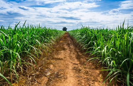 Road in Sugarcane farm and blue sky.