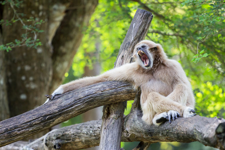 handed gibbon: White-Handed Gibbon  opening the mouth in  zoo Stock Photo