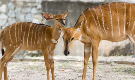 Female nyala mother protect young nyala from dangerous photo