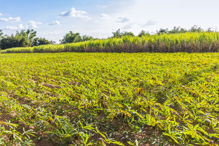 Planter Crop rotation sugarcane and cassava. For send Factory transform food and Ethanol. Made income all year round. photo