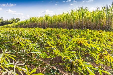 Jardinera de cultivos de caña de azúcar de rotación y la yuca. Para el envío de fábrica transformar los alimentos y etanol. Hecho ingresos durante todo el año. Foto de archivo - 34097186