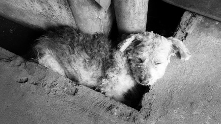 impoverished: Homeless dog Sleeping very happy in drain on the hot day. Stock Photo
