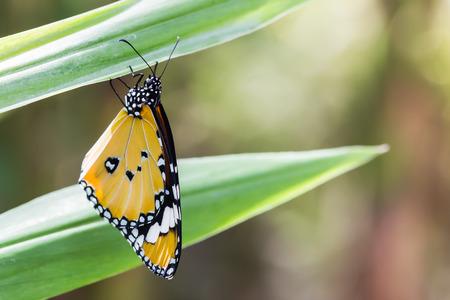 danaus: Yellow butterfly Plain Tiger, Danaus chrysippus. Stock Photo