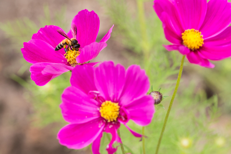 mandibles: Honey bee collecting pollen and nectar  from pink cosmos flower. Stock Photo