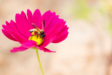 bee on white flower: Honey bee collecting pollen and nectar  from pink cosmos flower. Stock Photo