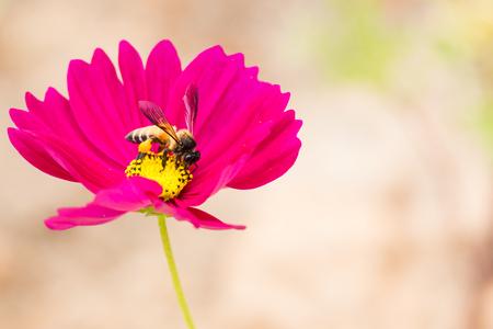 miel de abeja: La miel de abeja recoge el polen y el néctar de la flor rosada del cosmos. Foto de archivo