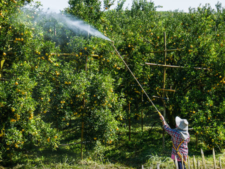 insecticide: Worker spray fertilizer or insecticide on oranges honeysuckle tree. Stock Photo