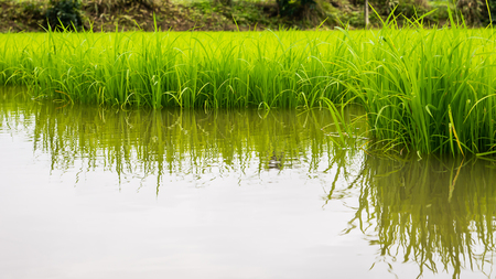 agriculture of small rice sprout in cultivated area with reflection in water.