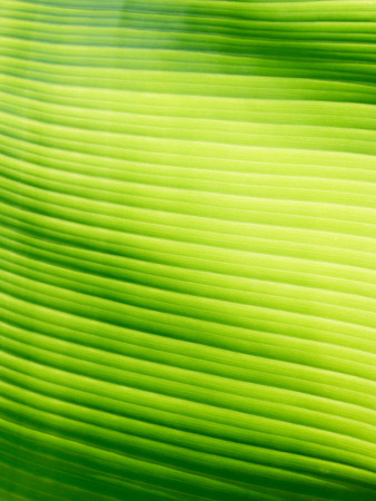 high light: Part of banana leaf detail have high light and shadow for background or design. Stock Photo