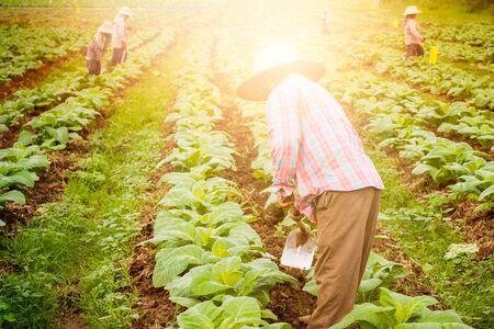 shoveling: Farmer Shoveling soil by hoe in tobacco field.