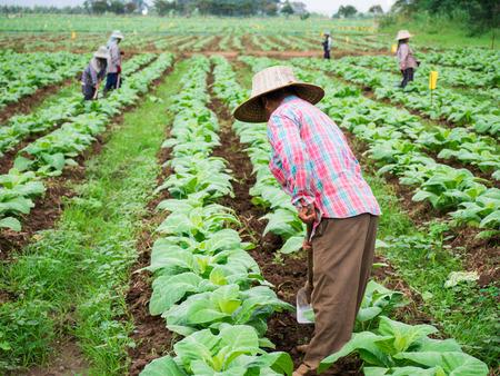 shoveling: Chaingrai -November 29 : Unidentified workers are Shoveling soil in tobacco field on November 29,2016 in Chaingrai Thailand.