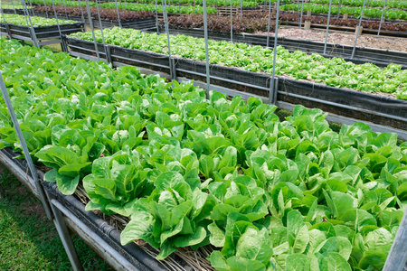 Organic Cos Lettuce in vegetable bed.
