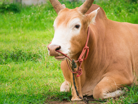 high def: Young fighting bull relax and ruminant.