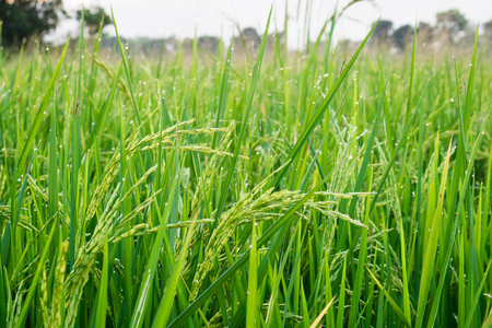 Young rice grain with dewdrop and Insect pest. Stock Photo