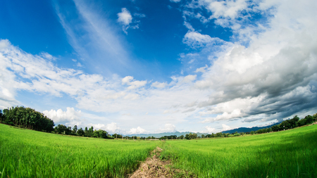 Yong rice field under white clouds and blue sky with lens fish eye.