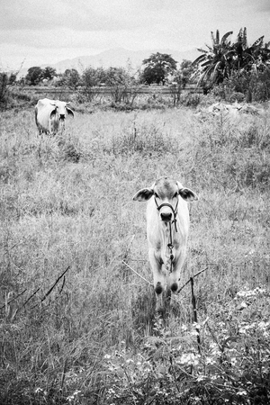 calf child cow with mother cow Stay alerted. black and white image.