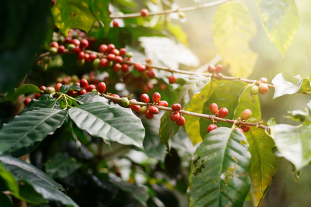 Fresh coffee beans on bunch trees. Stockfoto
