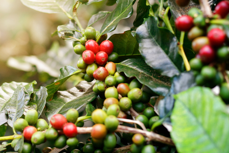Fresh coffee beans on bunch trees. Stock fotó