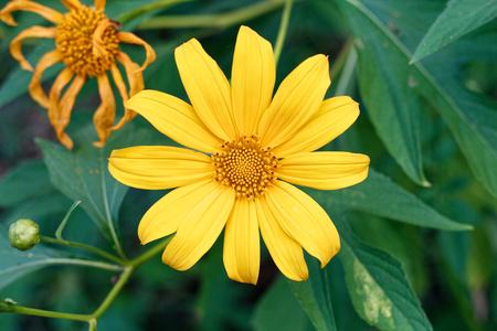 Clouse up Tree marigold, Mexican tournesol, Mexican sunflower, Japanese sunflower, Nitobe chrysanthemum. Foto de archivo - 122521111