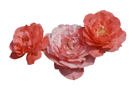 rose pink color Blossom booming isolated. 版權商用圖片 - 122610044