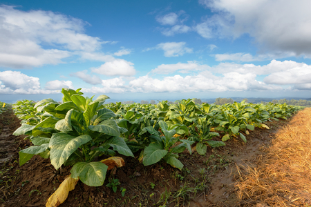 Tobacco plantation in farmland green and growing for made cigar and cigarette. Stockfoto