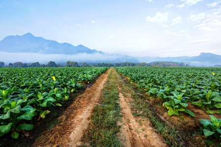 Tobacco plantation in farmland green and growing for made cigar and cigarette. 版權商用圖片 - 122520106