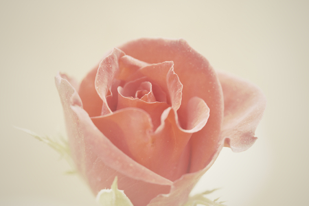 Soft image pink rose with retro tone.