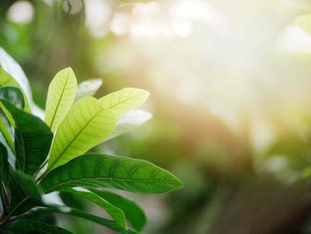 Green leafs in summer with sun light background. 版權商用圖片 - 126627852