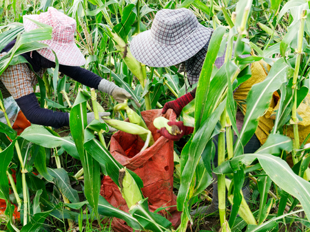 Foreign workers Burmese ( Myanmar or Burma ) Hire to harvest Sweet corn in the area north Thailand border. The sweet corn send manufacture factory make to Canned corn. 版權商用圖片 - 126627900