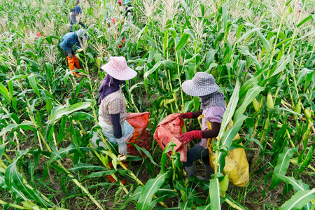Foreign workers Burmese ( Myanmar or Burma ) Hire to harvest Sweet corn in the area north Thailand border. The sweet corn send manufacture factory make to Canned corn.