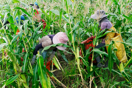 Foreign workers Burmese ( Myanmar or Burma ) Hire to harvest Sweet corn in the area north Thailand border. The sweet corn send manufacture factory make to Canned corn. 版權商用圖片 - 126627915