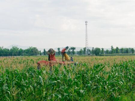 CHIANG RAI, THAILAND - JUNE 07 : Foreign workers Burmese ( Myanmar or Burma ) Hire to harvest Sweet corn in the area north Thailand border. The sweet corn send manufacture factory to make Canned corn on June 07, 2019 in Chaing rai, Thailand.